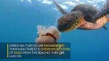 Deniz Kaplumbağasının deniz Anasını Yeme Görüntüleri !