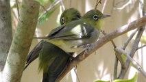 Honey Eater, White Eye's, Blue Wren Bird Feeding and Preening in our Yard