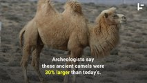 Giant Camels Once Roamed North America