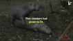 Pablo Escobar's Sex-Crazed Cocaine Hippos