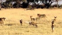 Leões Vs Cães Selvagens