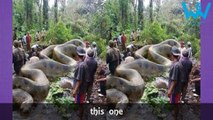 Biggest Snakes In The World   Longest snake found ever   Worth sharing videos