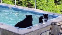 Il retrouve un maman ours et ses petits dans sa piscine