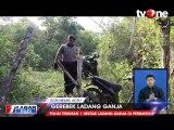 Polisi Musnahkan 1 Hektar Ladang Ganja Siap Panen