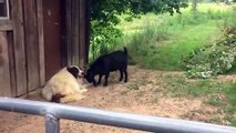 Cette chèvre vient embêter un chien qui n'en a rien à faire