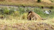 Big Battle Tiger Vs Lion Vs Gorilla Fight To Death ¦ Extreme Crazy Animal Fights caught On Camera