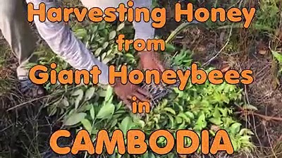 Harvesting honey from giant honey bee in Combodia