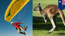 Paraglider nails landing only to get nailed by attacking kangaroo
