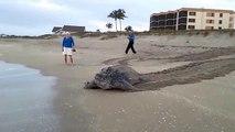 Ces touristes croisent la route d'une énorme tortue qui traverse la plage pour retourner à la mer