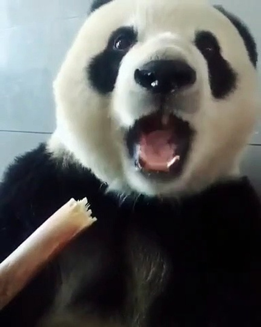 Cute baby Panda is good with a sugar cane
