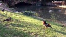 L'incroyable canard mandarin du parc Borély à Marseille