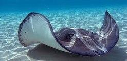 Sting Ray feeding at Atmosphere