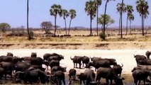 Lion Pride Catches A Buffalo ¦ BUFFALO HERD VS LION PRIDE ¦ lions vs buffalo documentary