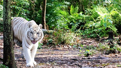 White Tiger On The Move
