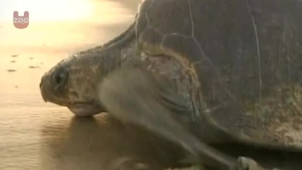 Olive Ridley Turtles Short Documentary