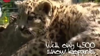 Adorable Baby Snow Leopards Playing