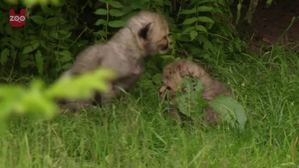 Fluffy German Cheetah Cubs
