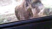 Jabalí persigue a turistas en coche
