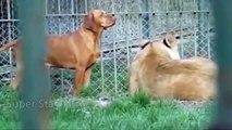Epic Battle Dog vs Lion, Tiger, Bear, Leopard Real Fight To