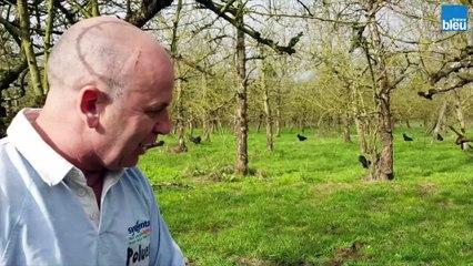 La poule de Janzé sauve les pommiers de l'anthonome