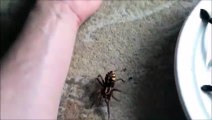 Vous n'avez jamais vu une araignée aussi grosse : araignée Goliath.