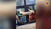 Il fait ses courses avec son taureau