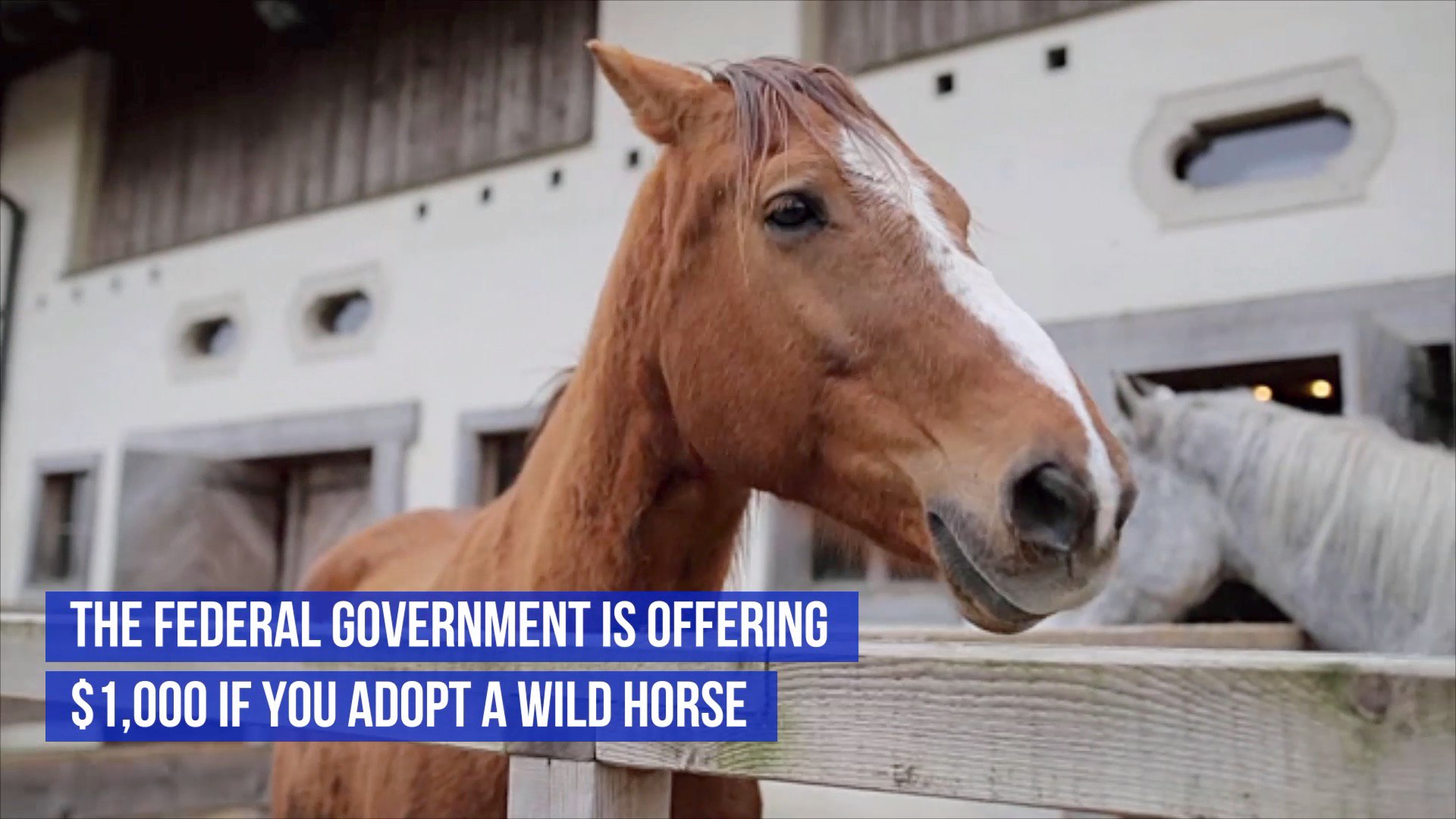 Adopt A Wild Horse And Get A Thousand Dollars