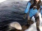 Ces belugas adorables viennent jouer avec ces touristes en bateau