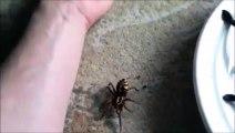 Vous n'avez jamais vu une araignée aussi grosse  araignée Goliath