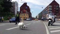 Quand une famille de cygnes bloque la route au Danemark