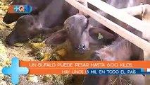 ¡Llegaron para quedarse! Costa Rica tiene más de 18 mil búfalos