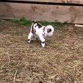 Regardez ce bébé agneau qui se roule au sol. Trop mignon !