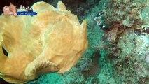 Voici le poisson-grenouille, animal préhistorique à la fois incroyable et terrifiant,