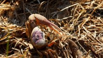 Why the Size of a Male Fiddler Crab's Claw Matters (4K)