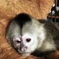 Lorsqu'un bébé singe est fatigué, voici ce que ça donne ! Trop drôle !