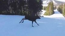 Un skieur surpris par un élan en pleine descente