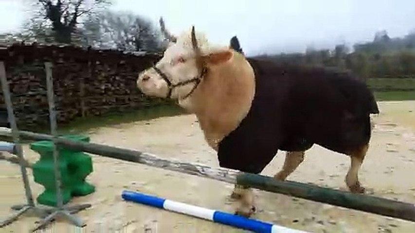 Aston, le taureau qui fait du saut dobstacles (Meuse)