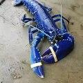 Découvrez la splendide écrevisse bleu de la Floride. Magnifique !