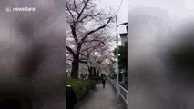 Pretty in pink: Time-lapse of Tokyo cherry blossoms in full bloom