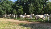 Slovénie : la mise au pré des chevaux lipizzans au haras de Lipica