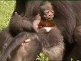 Mamá gorila da a luz de nuevo tras la muerte de su cría