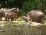 Todos los ojos para una cría de hipopótamo