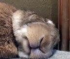 Mettre une carotte sous le nez d'un lapin pendant son sommeil