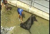 """Los defensores de los animales piden el fin de los """"bous a la mar"""" de Denia (Alicante)"""