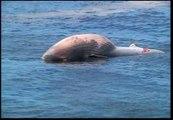 Aparece una ballena muerta en una playa de Rio de Janeiro