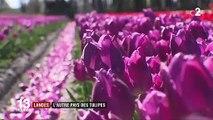 Landes : l'autre pays des tulipes