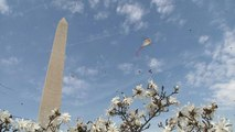 Watch: Kites and cherry tree blossom announce spring's arrival