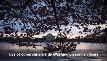 Les cerisiers de Washington sont en fleurs