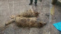 La Fiscalía de Medio Ambiente ha decidido investigar la caza furtiva de lobos en Asturias