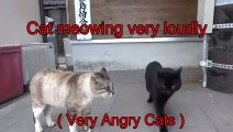 cat meowing very loudly( Very Angry Cats )